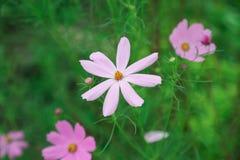Flor hermosa en el jardín con luz del sol, fondo de la naturaleza y colorido con el área vacía para el texto, crecimiento de flor Imagenes de archivo