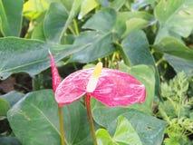 Flor hermosa en el jardín, foco selectivo de la espádice Imágenes de archivo libres de regalías