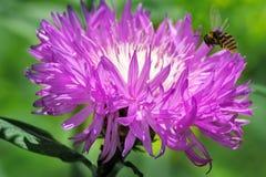Flor hermosa en la cual la abeja vuela Fotografía de archivo