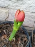 Flor hermosa en mi jard?n foto de archivo