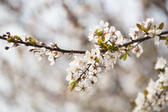 Flor hermosa en tiempo de primavera Foto de archivo libre de regalías