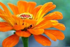 Flor hermosa florecida del brote en el tallo Fotos de archivo