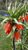 Flor hermosa, imperialis del Fritillaria Foto de archivo