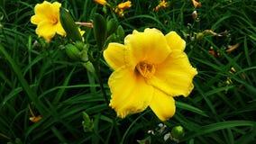 Flor hermosa, lirio de día Foto de archivo