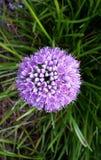 Flor hermosa, milenio del allium Foto de archivo libre de regalías