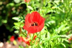 Flor hermosa misma de la amapola imagen de archivo