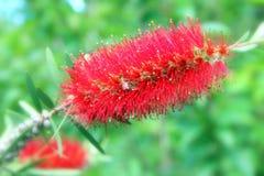 Flor hermosa roja con una abeja en ella Fotos de archivo