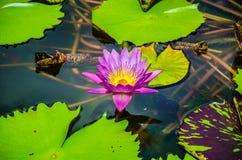 Flor hermosa rosada de la flor de Lotus en la charca Foto de archivo libre de regalías