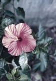 Flor hermosa rosada filtrada fotografía de archivo