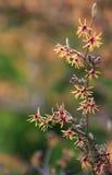 Flor hermosa Ruby Glow. Intermedia del Hamamelis Fotos de archivo