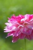 Flor hermoso de la dalia en el jardín Foto de archivo
