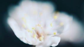 Flor hermoso de la flor del albaricoquero de la primavera metrajes