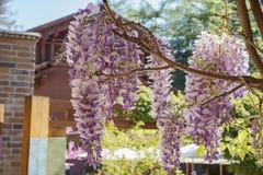 Flor hermoso de la glicinia en el jardín de Descanso Fotos de archivo