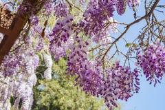 Flor hermoso de la glicinia en el jardín de Descanso Foto de archivo libre de regalías