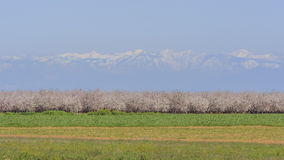 Flor hermoso de la granja del melocotón alrededor de Fresno Fotografía de archivo