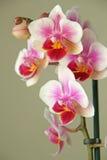 Flor hermoso de la orquídea Fotos de archivo libres de regalías