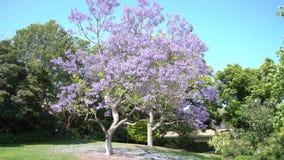 Flor hermoso de los árboles del Jacaranda
