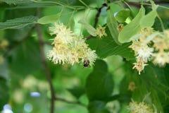 Flor hermoso del árbol de cal Fotografía de archivo libre de regalías