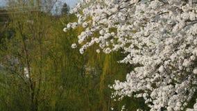Flor hermoso del árbol de ciruelo Resorte temprano almacen de metraje de vídeo