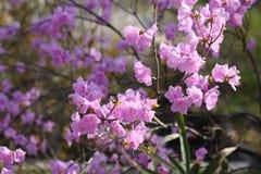 Flor hermoso del primer del dauricum del rododendro Imagen de archivo