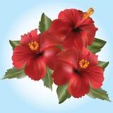 Flor-Hibiscos rojos rosa Foto de archivo libre de regalías
