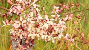 Flor Himalaia que move-se pelo vento video estoque