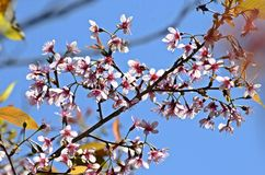 Flor Himalaia selvagem da cereja Fotografia de Stock