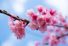 Flor Himalaia selvagem da cereja em Doi Ang Khang, Chiang Mai Fotos de Stock
