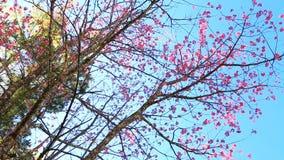 Flor Himalaia selvagem da mola da cereja video estoque