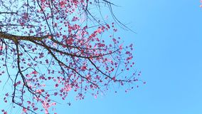Flor Himalaia selvagem da mola da cereja vídeos de arquivo