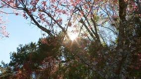 Flor Himalaia selvagem da mola da cereja filme
