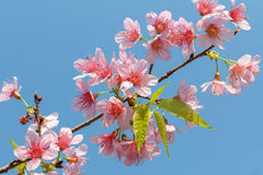 Flor Himalayan salvaje de la cereza Fotos de archivo libres de regalías