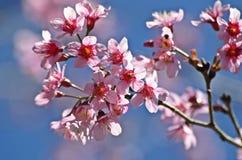 Flor Himalayan salvaje de la cereza Fotos de archivo