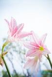 A flor Hippeastrum olha como um branco do lírio com listras cor-de-rosa pl Fotografia de Stock Royalty Free