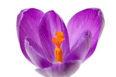 Flor holandesa cor-de-rosa do açafrão da mola Fotografia de Stock
