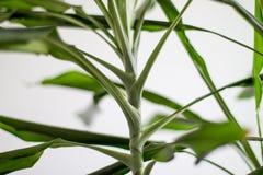 Flor home com folhas verdes Fundo claro Fotos de Stock