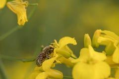 Flor Honey Bee de la rabina Abeja en flowe amarillo imagenes de archivo