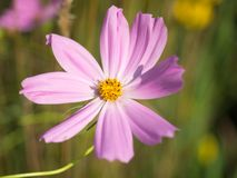 Flor i de Pale Pink Lavender Foto de archivo