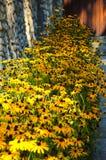 flor, igualmente conhecida como Susan de olhos pretos imagens de stock