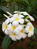 Flor III do Plumeria Foto de Stock