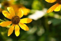 Flor iluminada por el sol amarilla fotografía de archivo libre de regalías