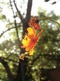 Flor iluminada por el sol del cosmos anaranjado en el fondo del árbol Imagen de archivo libre de regalías