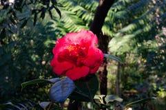 Flor iluminada por el sol roja brillante de la camelia contra backgrou verde del follaje Imagenes de archivo