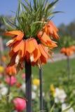Flor imperial alaranjada da coroa Fotos de Stock Royalty Free