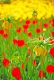 Flor imperial amarilla de corona en foco con el tulipán rojo y amarillo en el fondo Imagen de archivo