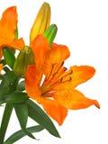 Flor imperial da coroa (fritillaria) Imagens de Stock Royalty Free
