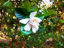 Flor india blanca que cuelga en la rama foto de archivo libre de regalías