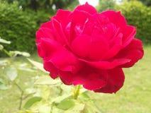 Flor india de Rose roja de la naturaleza fotografía de archivo