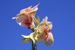 Flor india kan Fotografía de archivo libre de regalías