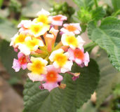 Flor indiana do Lantana Fotografia de Stock